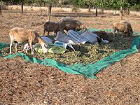 Les ovelles em mengen les fulles de les ametlles mentre aquestes s'estan secant perquè no es podreixin.