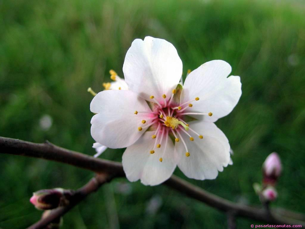 Flor d'atmeller